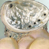 Abalone: Main Image
