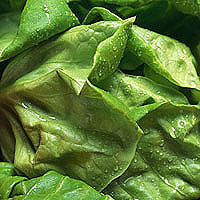 Bibb Lettuce: Main Image