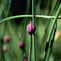 Chives: Main Image