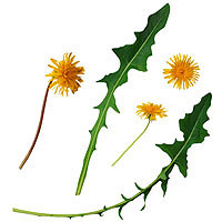 Dandelion Greens: Main Image
