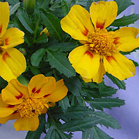 Marigolds: Main Image