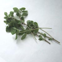 Marjoram: Main Image