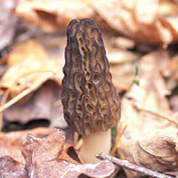 Morel Mushrooms: Main Image