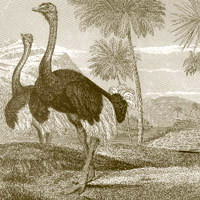 Ostrich and Emu: Main Image