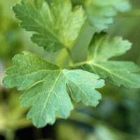 Parsley: Main Image