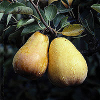 Pears: Main Image