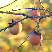 Persimmon: Main Image