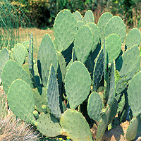 Prickly Pear: Main Image