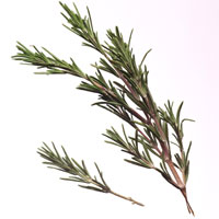 Rosemary: Main Image