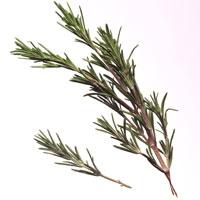 Rosemary: Main Image