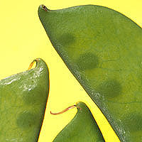 Snow Peas: Main Image