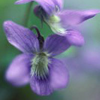 Violets: Main Image