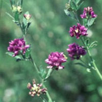 Alfalfa : Main Image