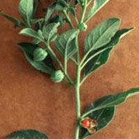 Ashwagandha: Main Image