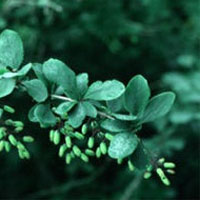 Barberry: Main Image
