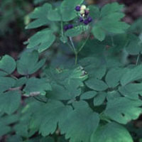 Blue Cohosh: Main Image