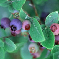 Blueberry: Main Image