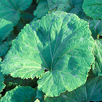 Butterbur: Main Image