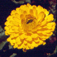 Calendula: Main Image