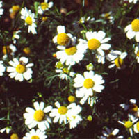 Chamomile: Main Image