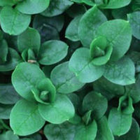 Chickweed: Main Image