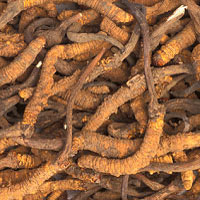 Cordyceps: Main Image
