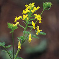 Corydalis: Main Image