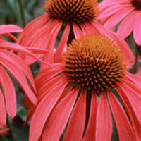 master.k.m.us.Echinacea Food Prep Tips
