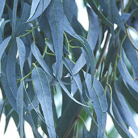 Eucalyptus: Main Image