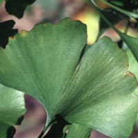 Ginkgo: Main Image