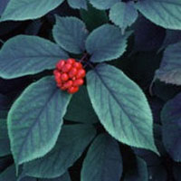 American Ginseng: Main Image