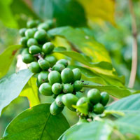 Green Coffee Extract : Main Image