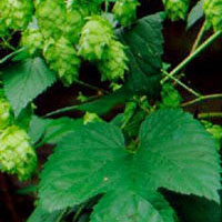 Hops: Main Image
