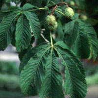 Horse Chestnut: Main Image