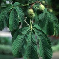 Horse Chestnut: Main Image