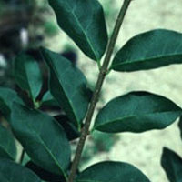 Ligustrum: Main Image