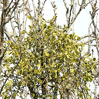 Mistletoe: Main Image