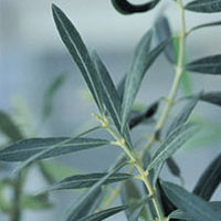 Olive Leaf: Main Image