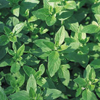 Oregano/Wild Marjoram: Main Image