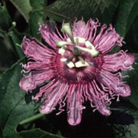 Passion Flower: Main Image