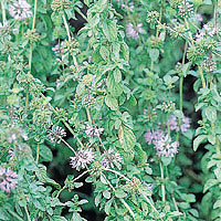 Pennyroyal: Main Image
