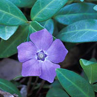 Periwinkle: Main Image