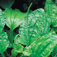 Plantain: Main Image