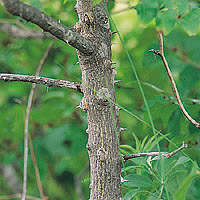 Prickly Ash: Main Image