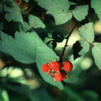 Red Raspberry: Main Image