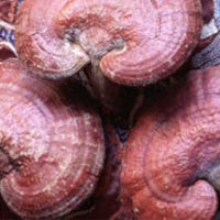 Reishi: Main Image