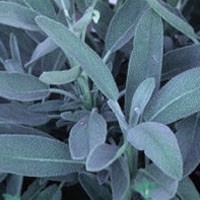 Salvia: Main Image