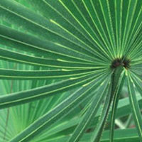 Saw Palmetto: Main Image