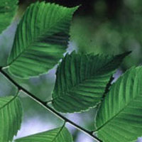 Slippery Elm: Main Image
