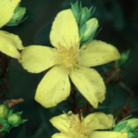 St. John's Wort: Main Image
